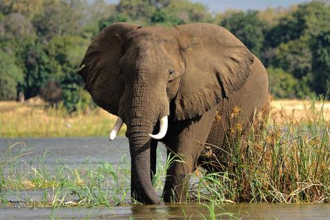 Elephant in the Zambezi River.
