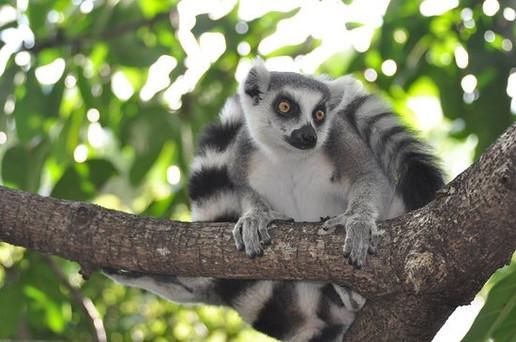 Curiously lemur.