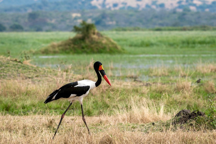 This Saddle-billed storks were bucket list to see and photograph in the wild for a very long time and are probably one of my favorite birds.