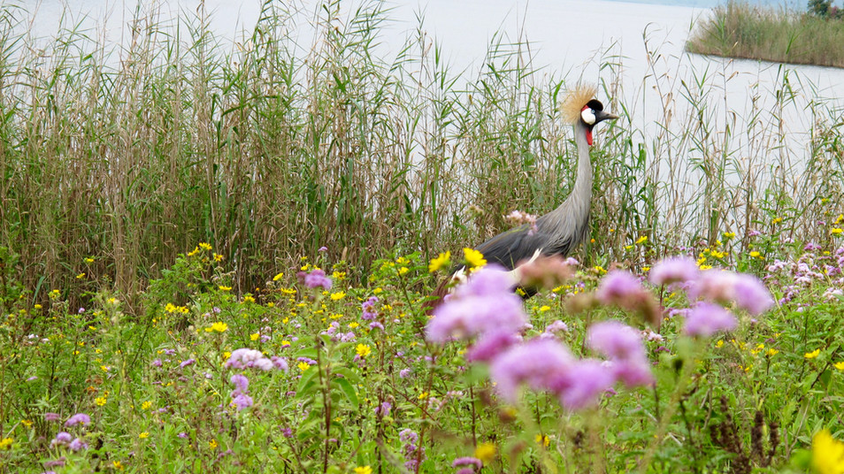 The grey crowned crane.It is found in eastern and southern Africa, and is the national bird of Uganda. Cranes are some of the tallest birds out there, and the created crane stands at over 3 feet (or 1meter) tall and from wing tip to wing tip can measure over 2 meters.