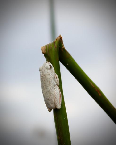 Marbled reed frog (cameleon)