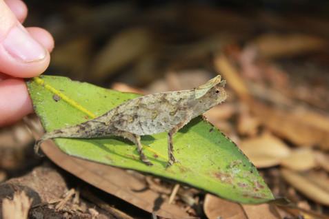 Brown leaf chameleon.