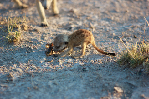 We didn't know that young meerkats eat scorpions.