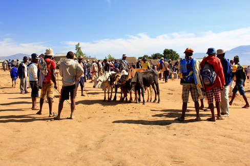 Ambalavao hosts the largest zebu market in the country. Tough, wizened herders walk from as far away as Tuléar and Fort-Dauphin to sell their cattle. It is quite a spectacle, especially as the animals make their way up the bluff where the huge enclosure is located. The market reaches fever pitch around 10am or 11am. It's located about 1km south of Ambalavao.