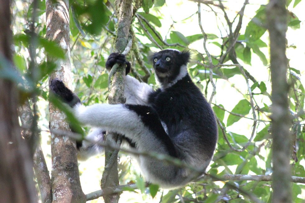 The indri also called the babakoto, is one of the largest living lemurs, with a head-and-body length of about 64–72 cm and a weight of between 6 to 9.5 kg.
