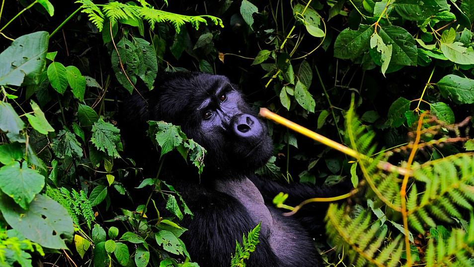Gorillas are large apes that are native to Africa. They are typically divided into two groups. The mountain gorilla lives in the mountainous regions of central Africa, while the lowland gorilla lives in the flat, dense forests of central and western Africa. Though the two types are very similar, they have a few differences. For example, mountain gorillas tend to have longer hair, whereas lowland gorillas have short, soft hair, according to the Smithsonian. Another difference is size. Lowland gorillas are 1.2 m - 1.8 meters tall and weigh 68 kg to 181 kg. Mountain gorillas are about the same height, though they tend to weigh a bit more. They are 1.20 m to 1.80 m feet tall and weigh 135 to 220 kg. According to the World Wildlife Federation, gorillas are the world's largest primate.