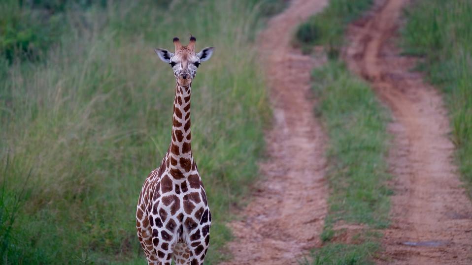 Curious giraffe.