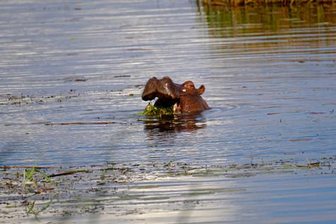 Happy hippo.