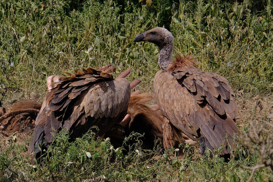 Africa's most common large vulture, the white-backed vulture is an scavenger that feeds on the carcasses.