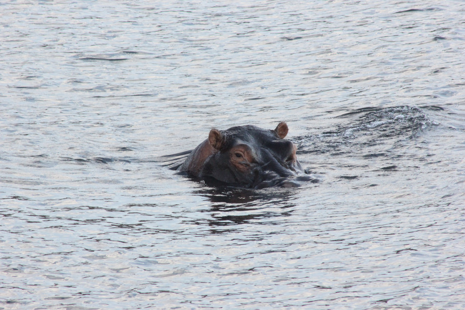 Hide and seek with a hippo.