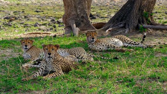 Cheetahs after a kill.
