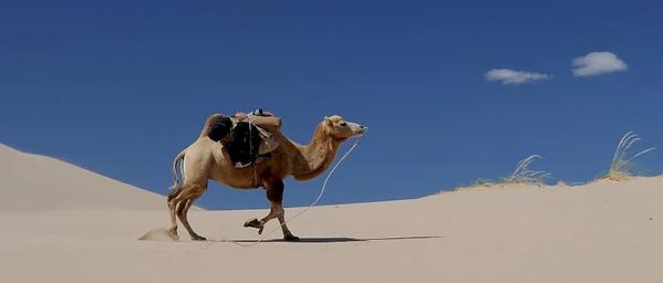 camel-692648__340.webp