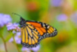 Rosenstiel_B_butterflies101710-3463.jpg
