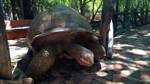 Tortoises Prison Island