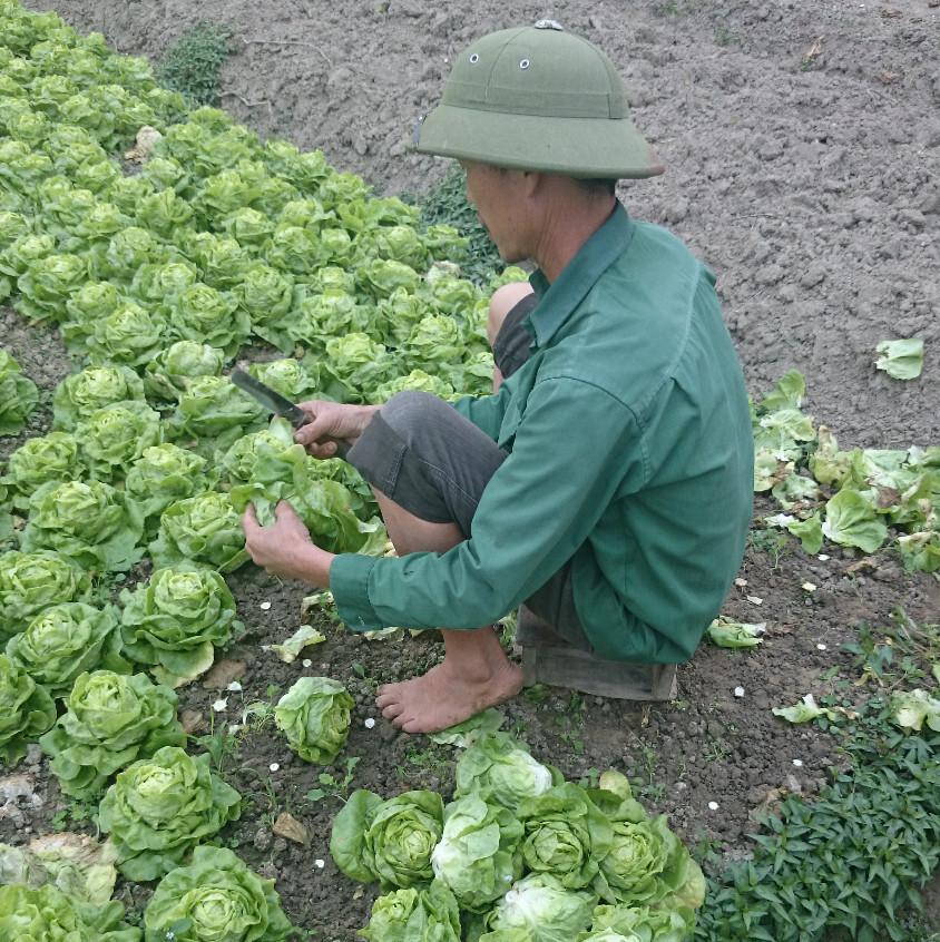 Bauer bei der Salaternte