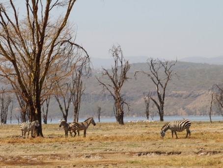 Nashorn, Zebra und Co - Wildtierglück am Lake Nakuru *Kenia*
