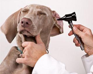Limpieza de Oídos en Perros