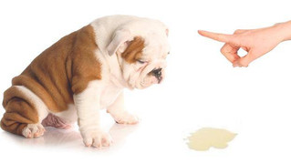 ¿Como le enseño a Orinar a mi Perro?