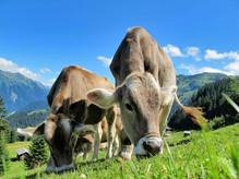 vaches-portes-du-soleil.jpg