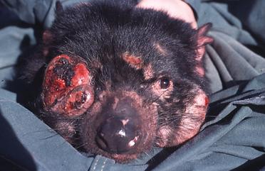 Tasmanian_Devil_Facial_Tumour_Disease.pn