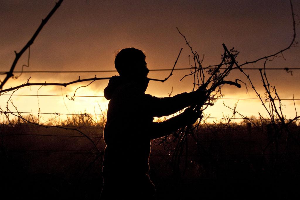 Taillage des vignes en hiver