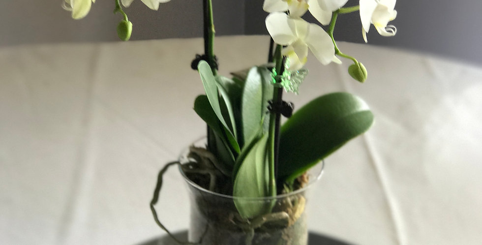 Orchid plant in hurricane vase (white)