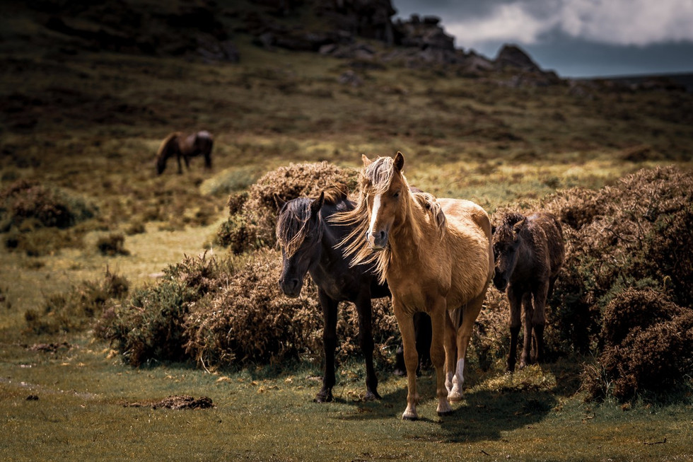 _AR35592 Ponies after a summer storm