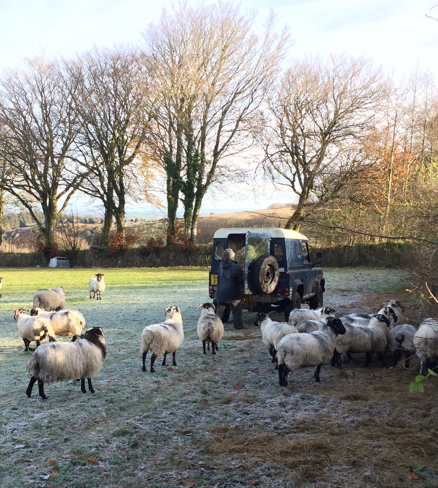 feeding sheep Nov 22 2015