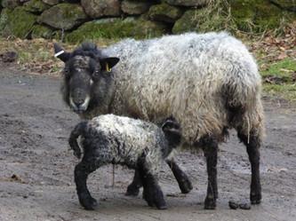 First lamb born March 2016.JPG