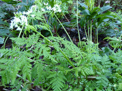 Sweet Cicely and Hellebore
