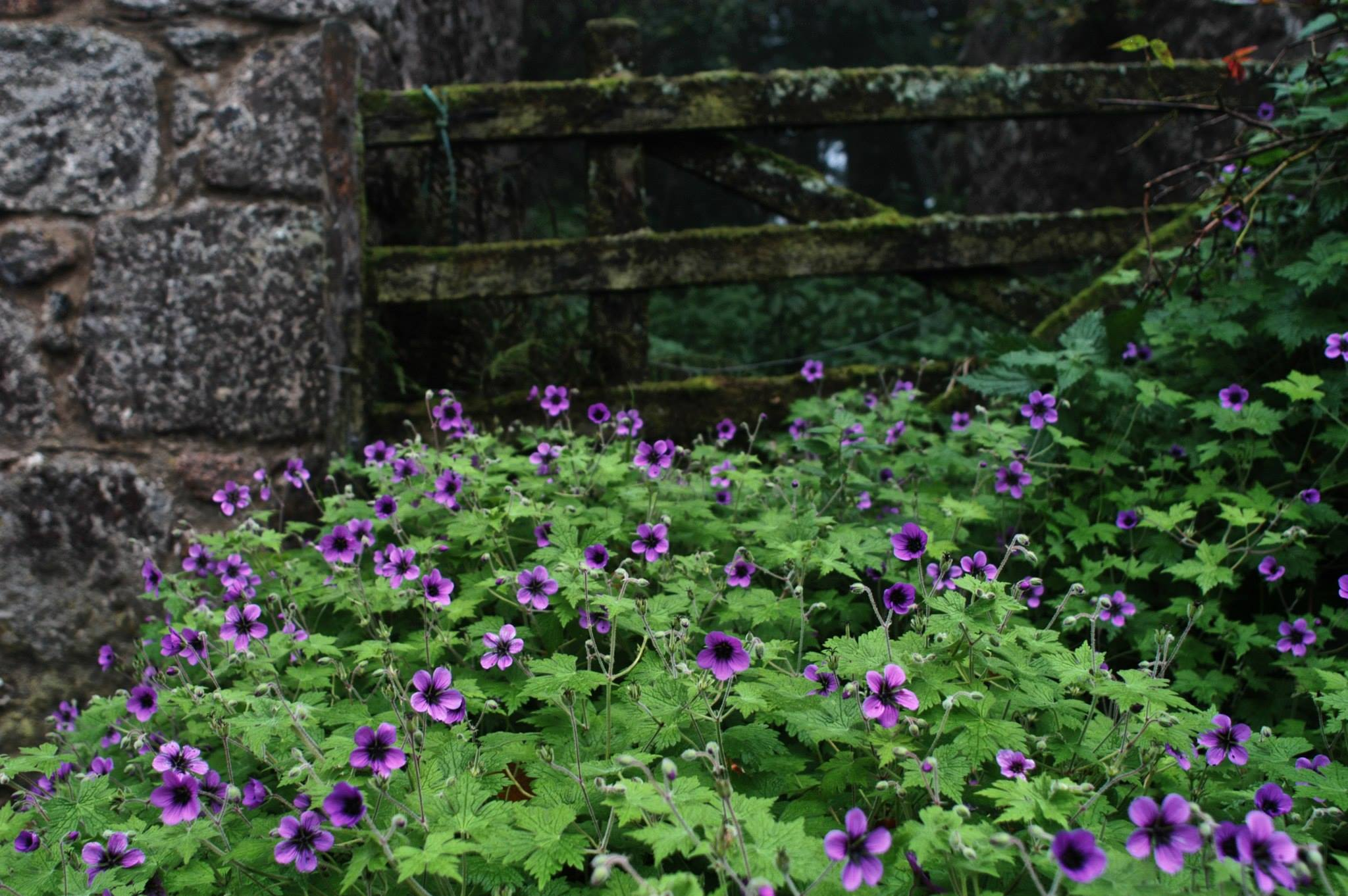Geranium, ground cover