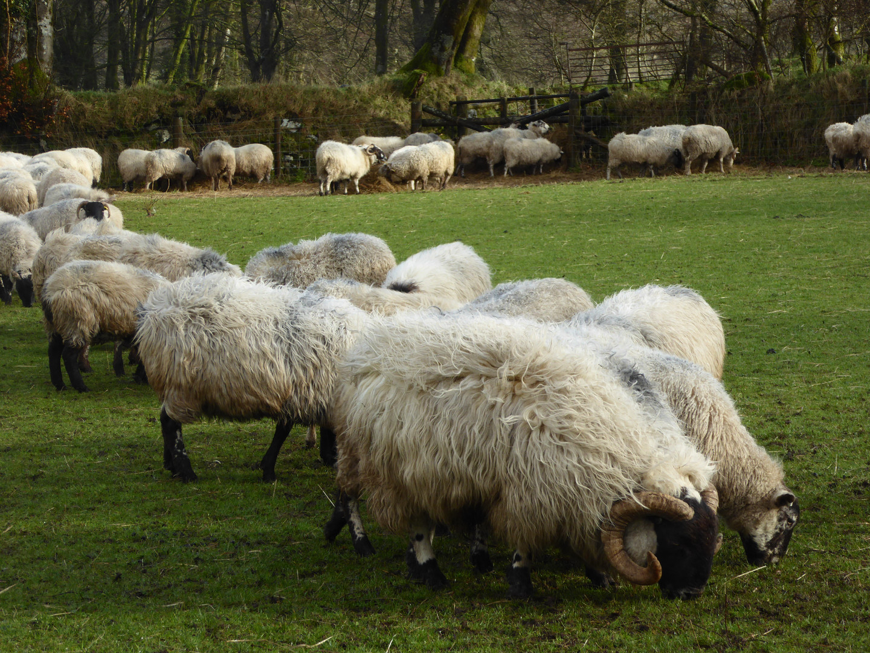 Feeding sheep 9 Feb 3 2016.JPG
