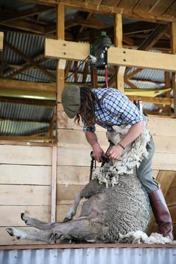 Day 2: Sheep Sheering Demonstration