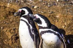 Day 1: Penguins on Magdalena Island
