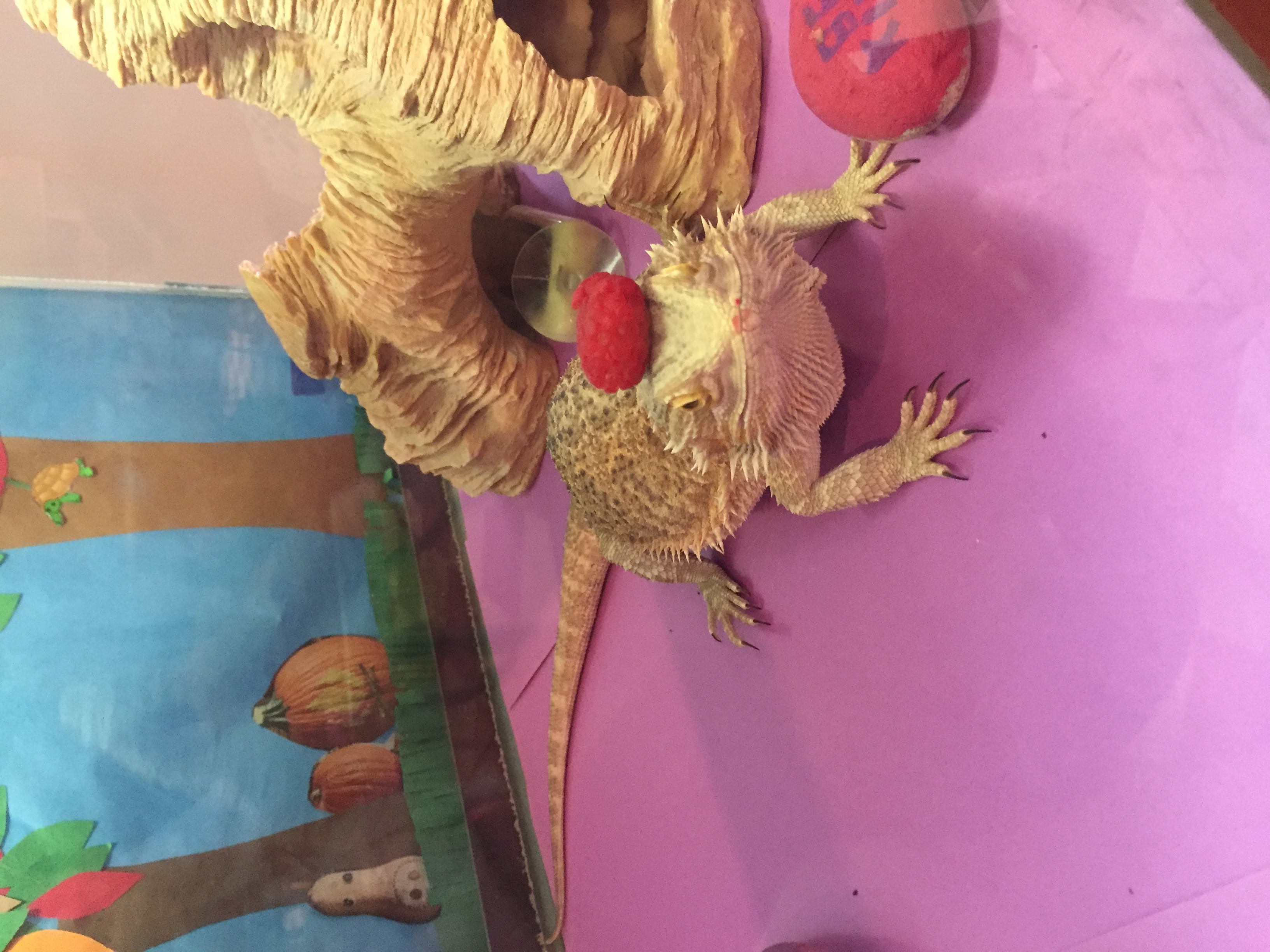 Our Bearded Dragon Lizard