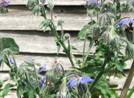 Bountiful borage... beware!!