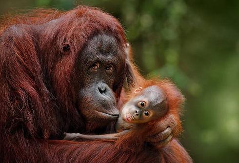 adult & baby orangutan.jpg