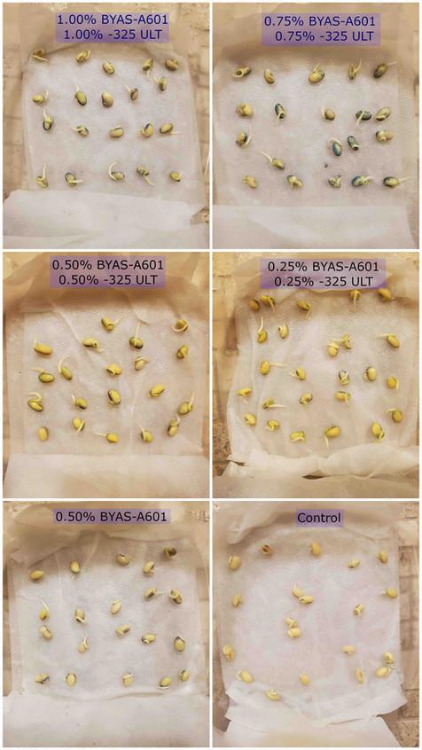 Germinaton soy seeds.jpg