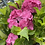 Thumbnail: Hydrangea - Pink