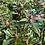 Thumbnail: Rhododendron Graziella