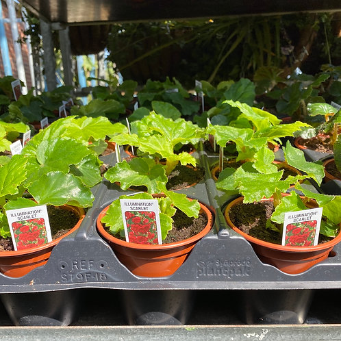 Begonia -Trailing Scarlett 4 pack