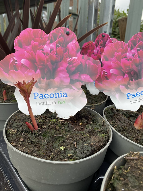 Peony - small pink