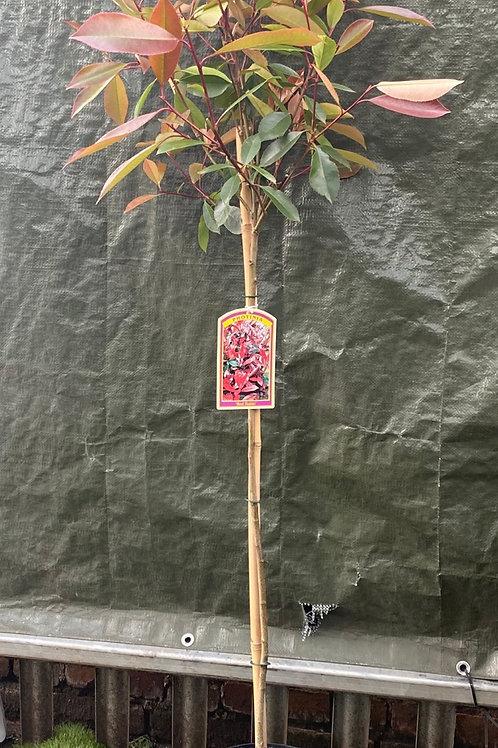 Red Robin Standard 1.6 metre