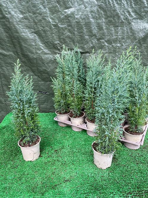 3 x Miniature Conifer