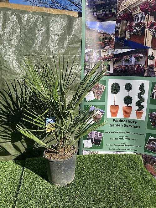 Chamerops Palm