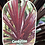 Thumbnail: Cordyline - Red (ex large)