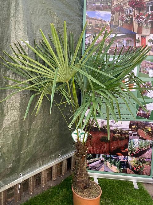 Trachycarpus Palm - 5ft
