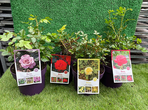 Bush Rose x 4