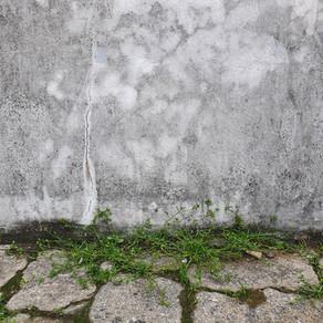개미자리(Sagina japonica)에 대한 짧은 관찰기