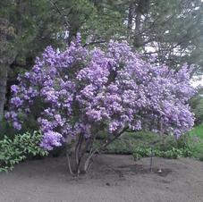 Chinese Purple Lilac